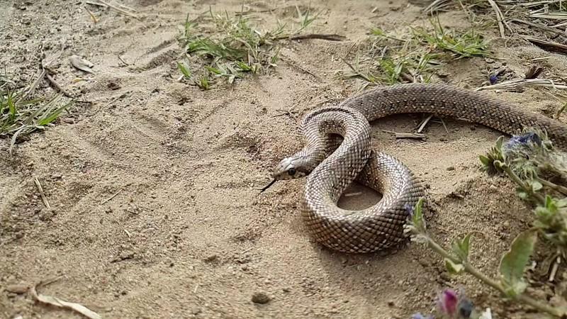 y2mate.com - 20191123_juvenile_mole_snake_pseudaspis_cana_striking_in_slow_motion_JxKQINNMJhI_1080p.mp4