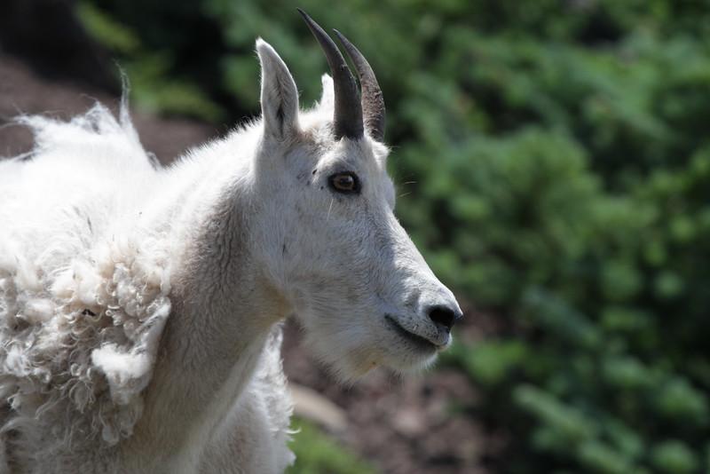 Mountain Goat Detail