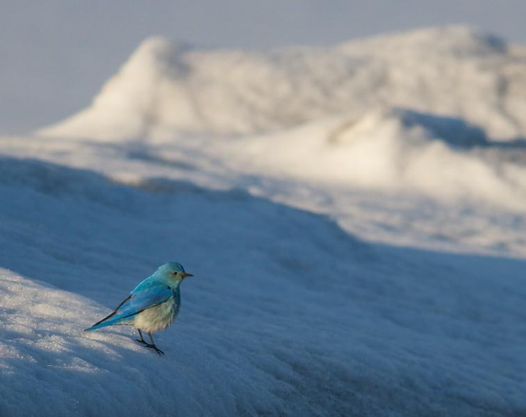 Mountain Bluebird on snow near Canyon Yellowstone National Park WY IMG_8187.jpg