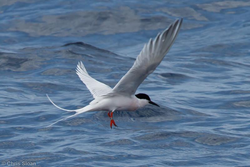 Roseate Tern at pelagic trip off Hatteras, NC (06-01-2011) - 359.jpg