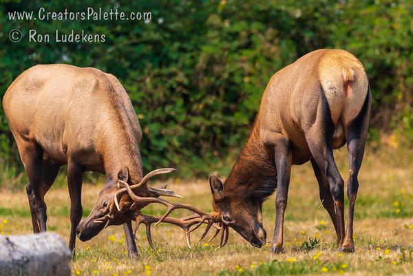 Rosevelt Elk (Cervus canadensis roosevelti)