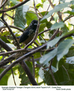 Spangle-cheeked Tanager A82107.jpg