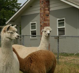 Alpaca Sheering 06-22-2014