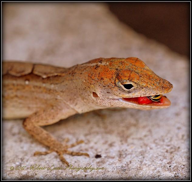 2017-04-19_P4190028_ anole lizard,Clwtr,fl.JPG