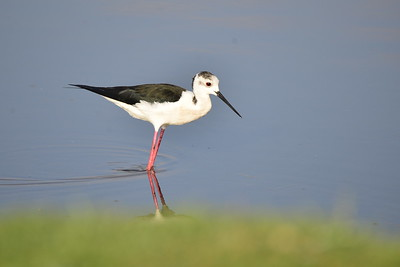 Stilts and Avocet / Stelzenläufer - Recurvirostridae