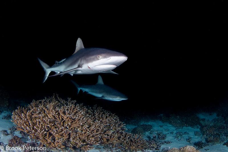 Sharks Hunting Reef Fish