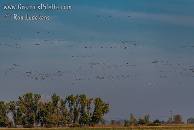 October - Annual Winter Migration of Sandhill Cranes – Merced National Wildlife Refuge