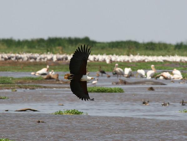 Fish Eagle Tanzania 2006 2009