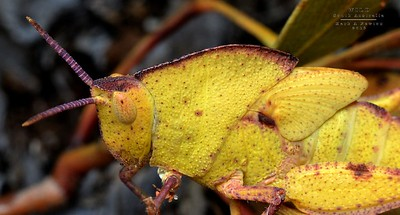 Grasshoppers (Caelifera)