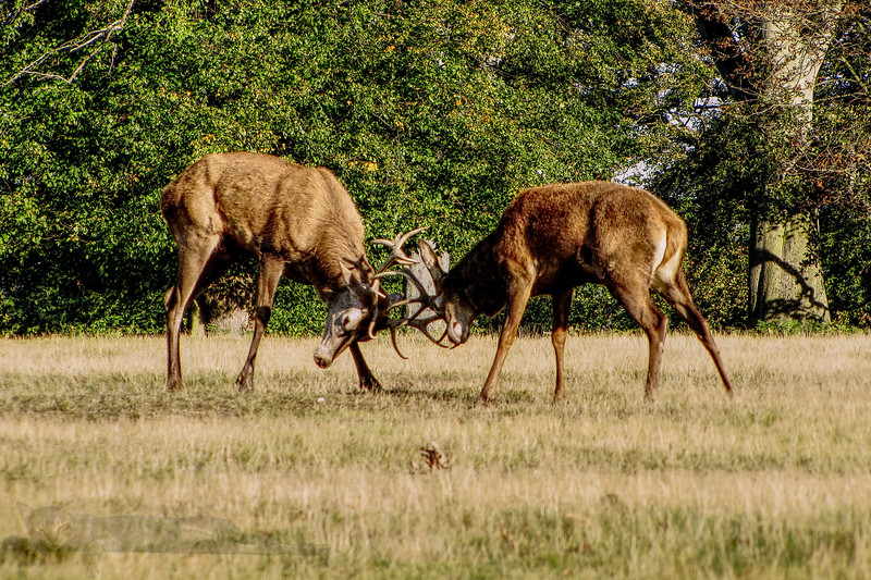 Red Deer Stags in Richmond Park