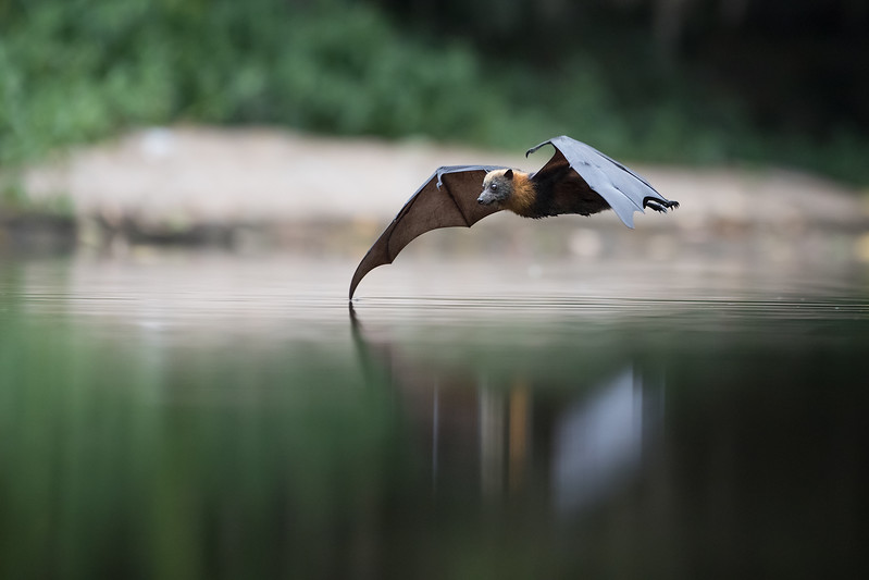 Sigma-Flying-Fox-220118.-_01268.jpg