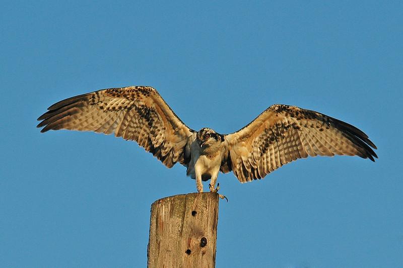 Osprey - Bovey, MN