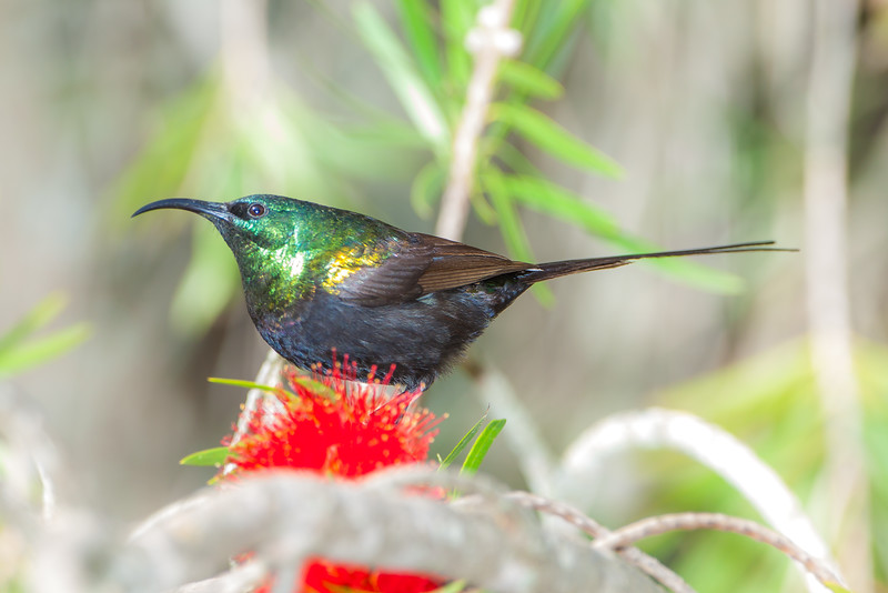 Bronze Sunbird (Nectarinia kilimensis)