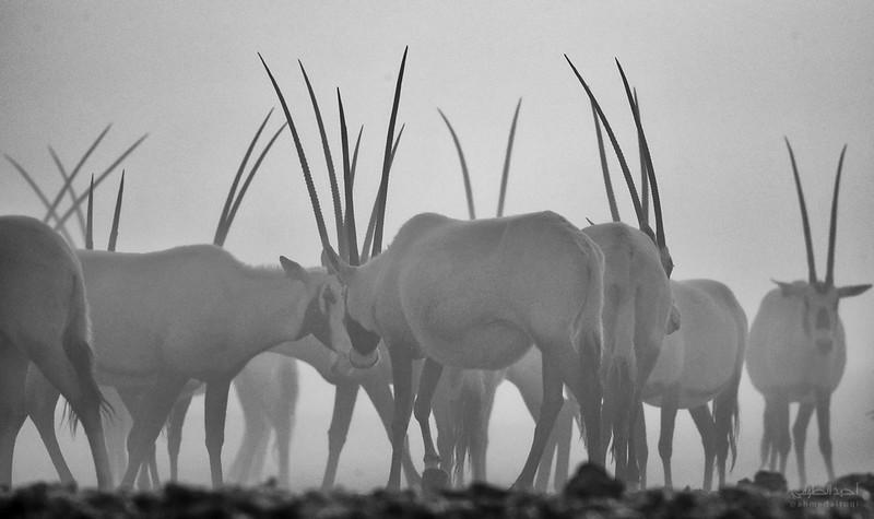 Arabian Oryx (38).jpg