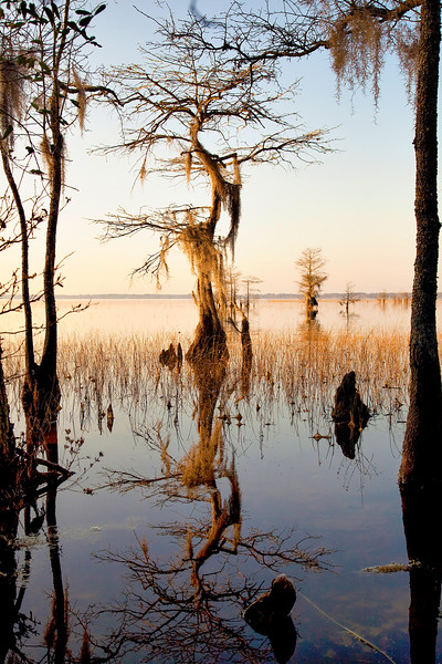 Lake Waccamaw Cypress
