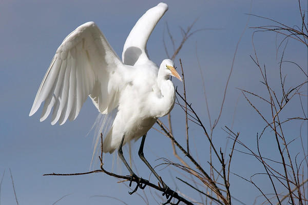 Great Egret, Gilbert, AZ