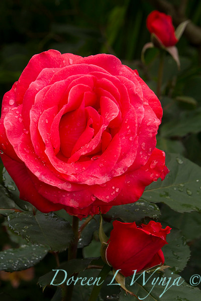 Rose_8367.jpg
