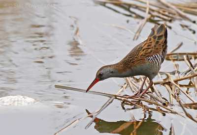 Gamebirds, Crakes & Rails