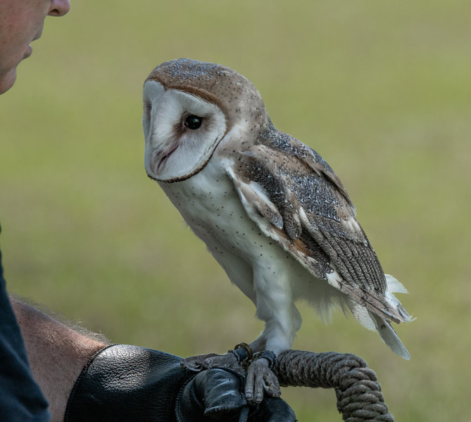 American Barn Owl (with his handler)