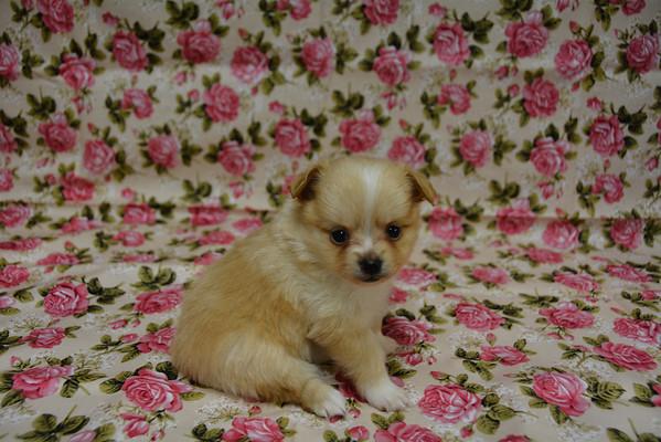 Female Pomeranian Puppy # 2855