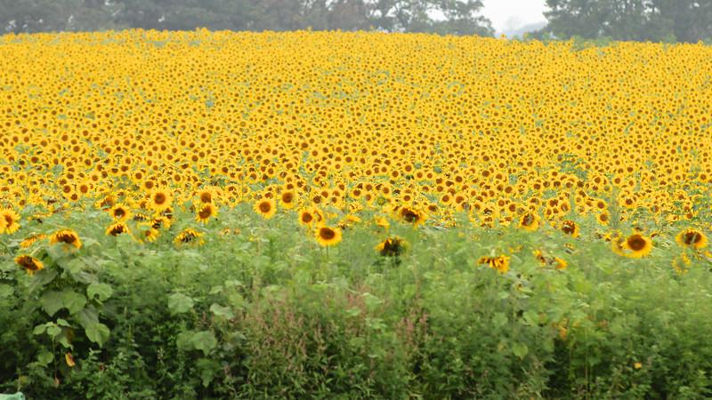 FamilySunflowers_ 177.jpg