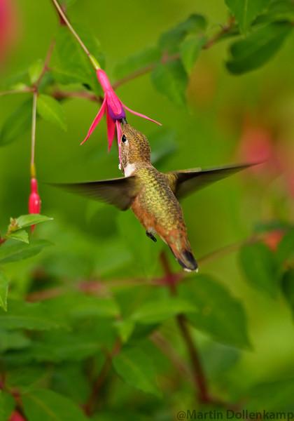 Rufous Hummingbird juvenile and Hardy Fucshia