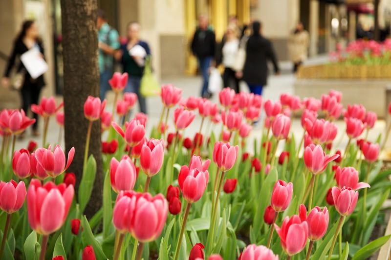 Pink tulips, Michigan Avenue