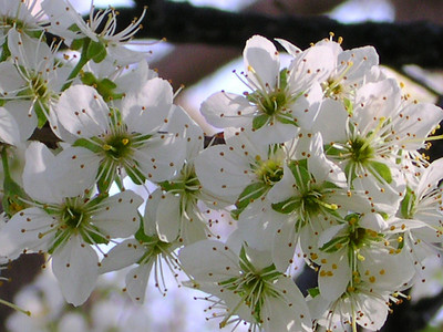 White Plum Blossoms @ Shankar Gallery