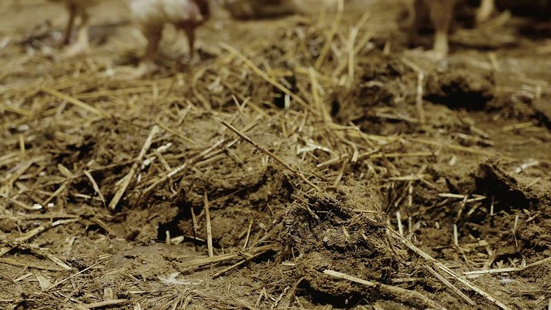 poulets-elevage-pihem-21.png