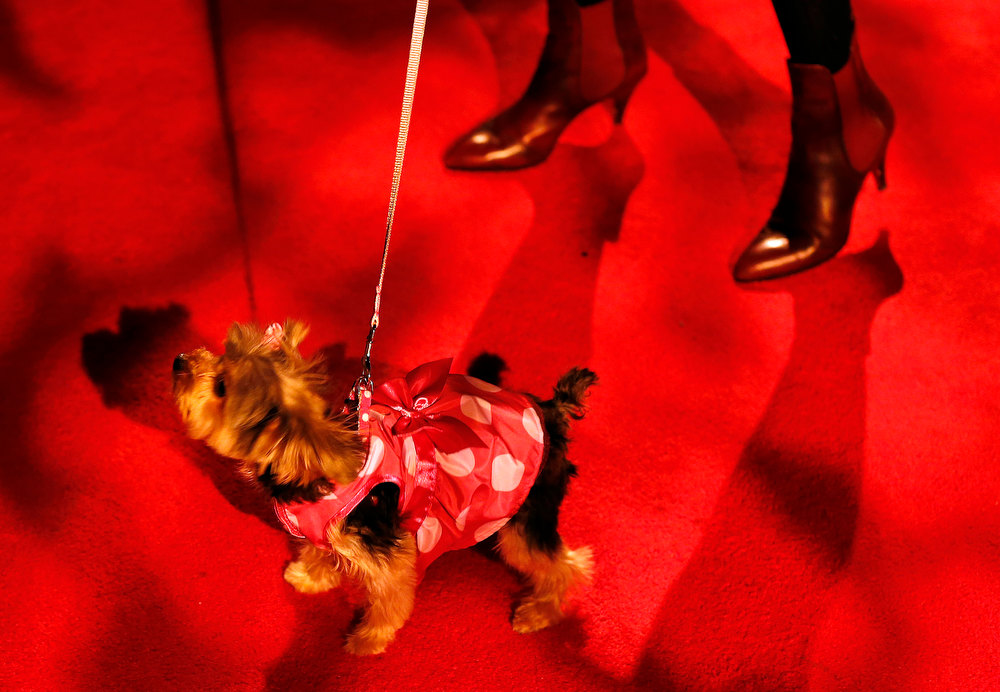 . A dog walks with its owner before the start of the New Yorkie Runway Doggie Fashion Show in New York February 7, 2013. REUTERS/Shannon Stapleton