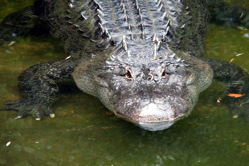 Gator_1Lr.jpg