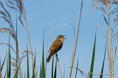 Vogels Karakiet