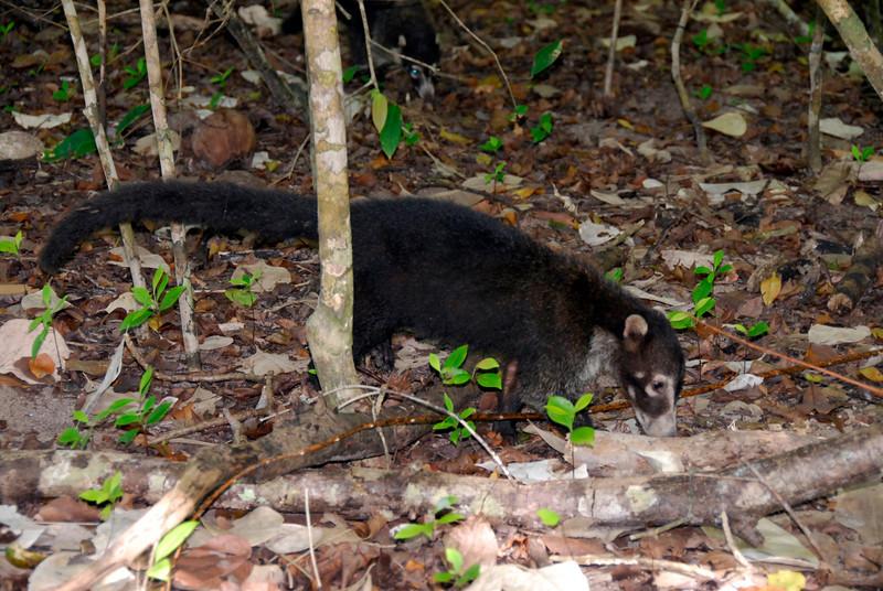 080120 9723 Costa Rica - Manuel Antonio - National Park Wildlife _E _G _L ~E ~L.JPG