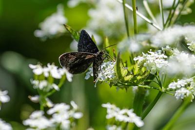 Geometer Moths ~ Målere
