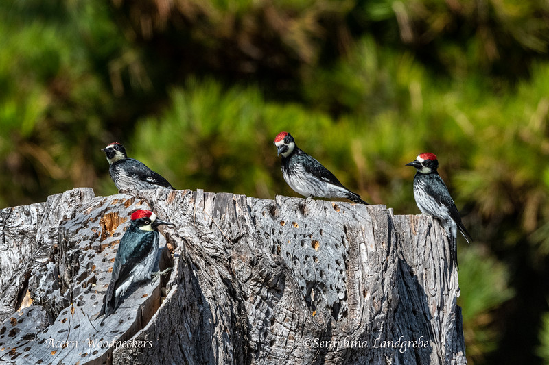 _DSC4194-Four Acorn Woodpeckers.jpg