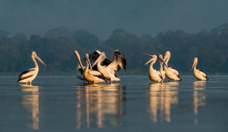 Australian Pelicans, Shoalhaven Heads, NSW, March 2013-1.jpg