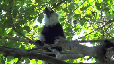 Lemur throwing up film clip, Madagacsar