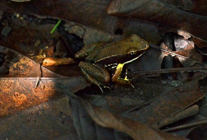 Spotted-legged poison frog (Epipedobates pictus)