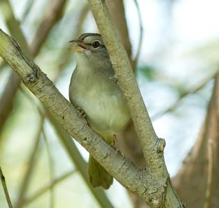 Olive Sparrow Arremonops rufivirgatus