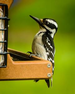 (Mostly) Back Yard Birds