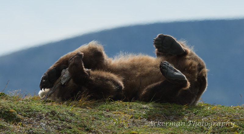 Brown_Bears_JLA_2435-Edit.jpg