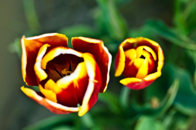TulipFestival-77.jpg