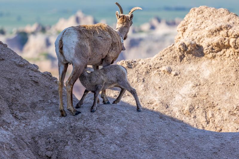 nursing lamb Badlands National Park  3053-.jpg