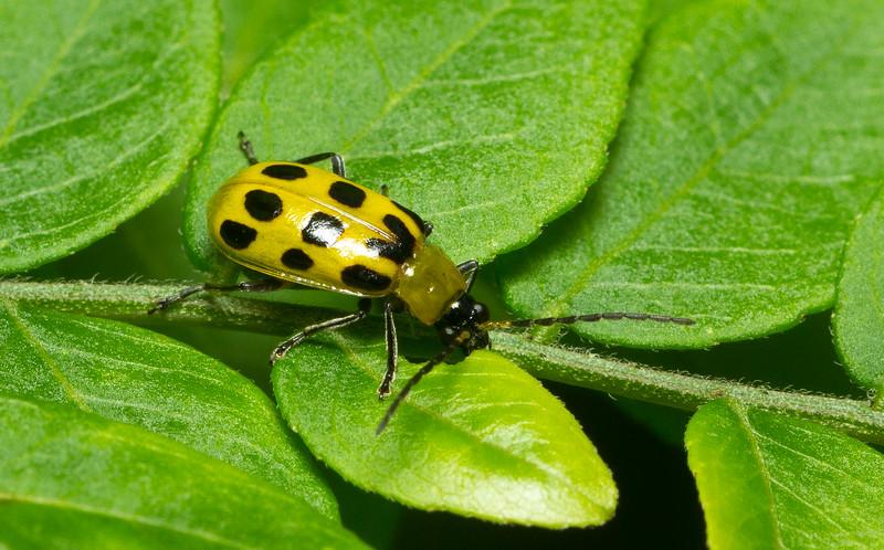 Spotted Cucumber Beetle, Diabrotica undecimpunctata, from Iowa.