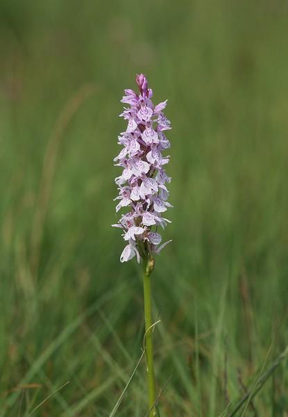 D. maculata var. ericetorum Havelterberg HV 15-06-18 .jpg