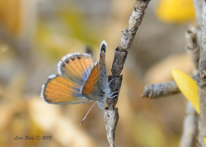 Pygmy Blue Butterfly - Salt Works - 10/27/13
