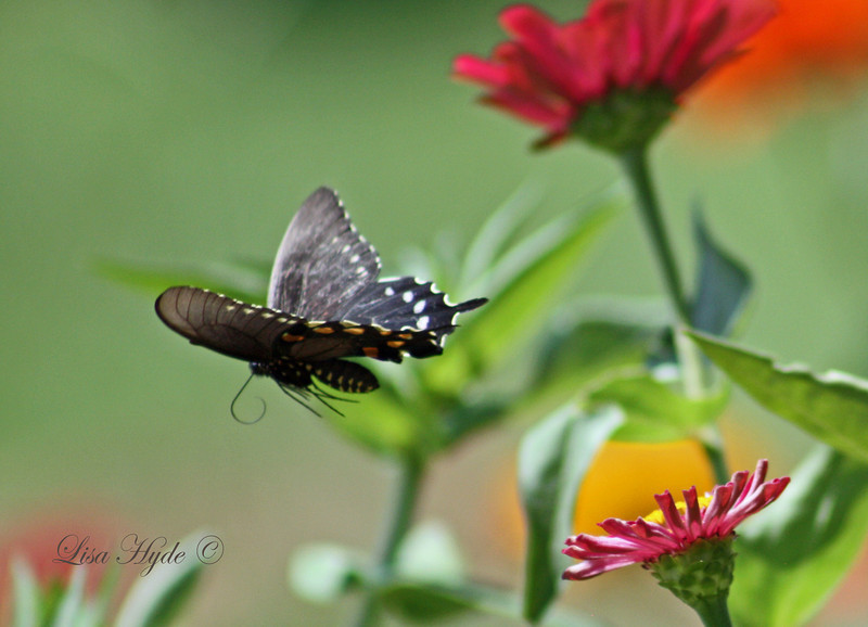 IMG_6704 PS BUTTERFLY LEAVING FLOWER signed.jpg