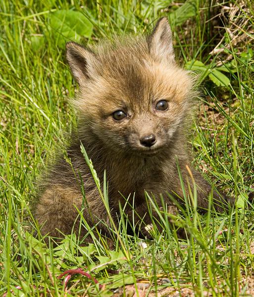 Foxes-2.jpg