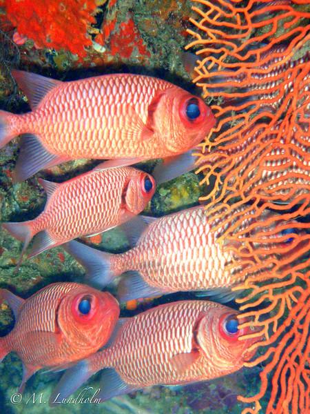Soldierfish