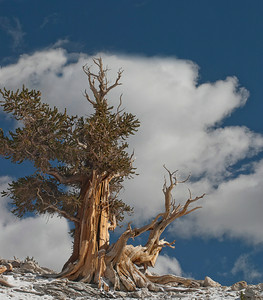 Ancient Bristlecone Pines & White Mountains